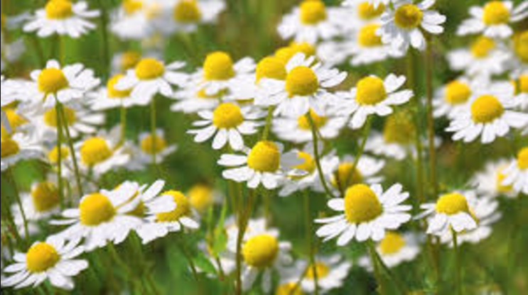 Chamomile helps in slow ageing and soothing an upset stomach