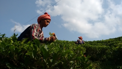 Specialty Assam green tea fetches whopping price