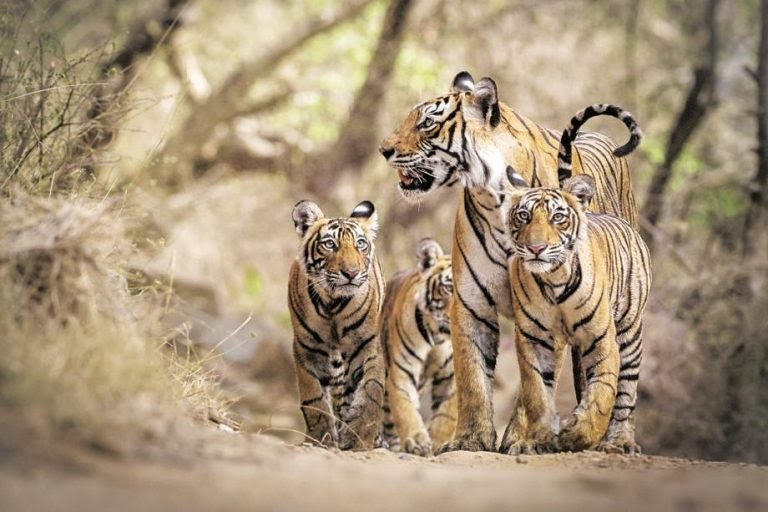 International Tiger Day, concerns to spread awareness and safeguard the animals